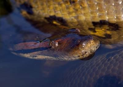 El dramático rescate de un perro atrapado por una anaconda